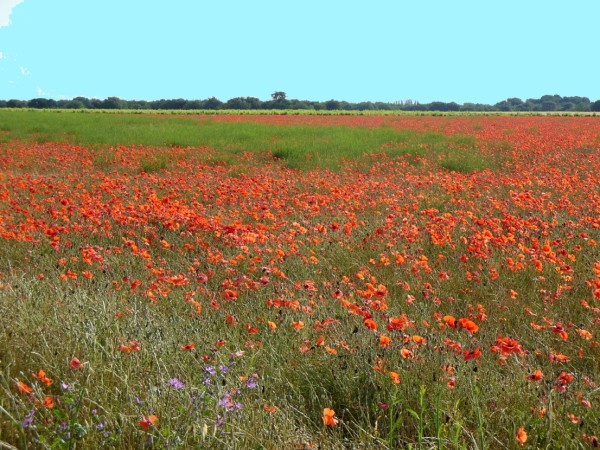 The abundant poppy fields in the south of France <br>are in bloom from April to June