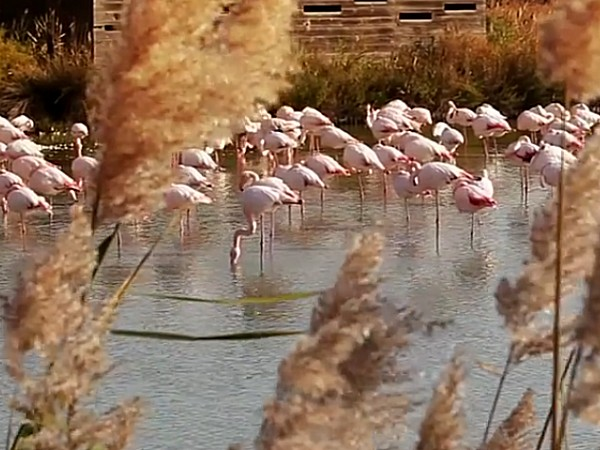 In the Rhone Delta, with a landscape of lagoons, wild horses and bulls<br> roam freely amongst the pink flamingos and other species.